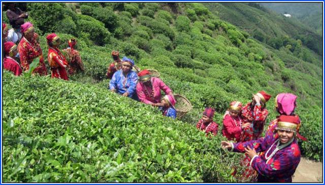 Tea garden workers in Darjeeling