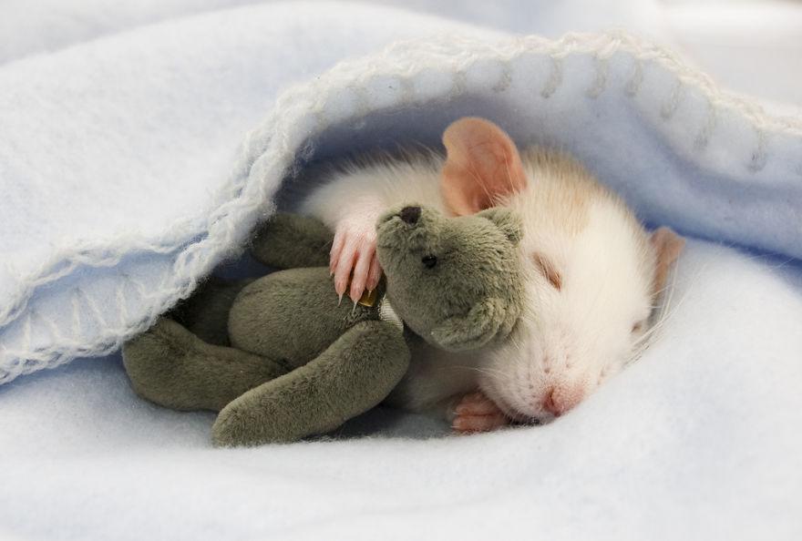 cute-pet-rats-1