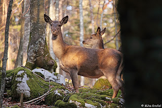 hinds on mountain - female red deer - mountain deer