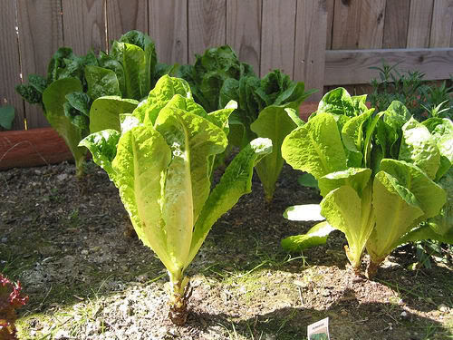 How to Grow Your Organic Lettuce
