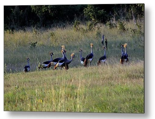 Buy Metal Print of Grey Crowned Cranes