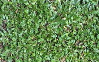 Jual Rumput Gajah Mini Cibubur | Pasang Rumput Gajah Mini
