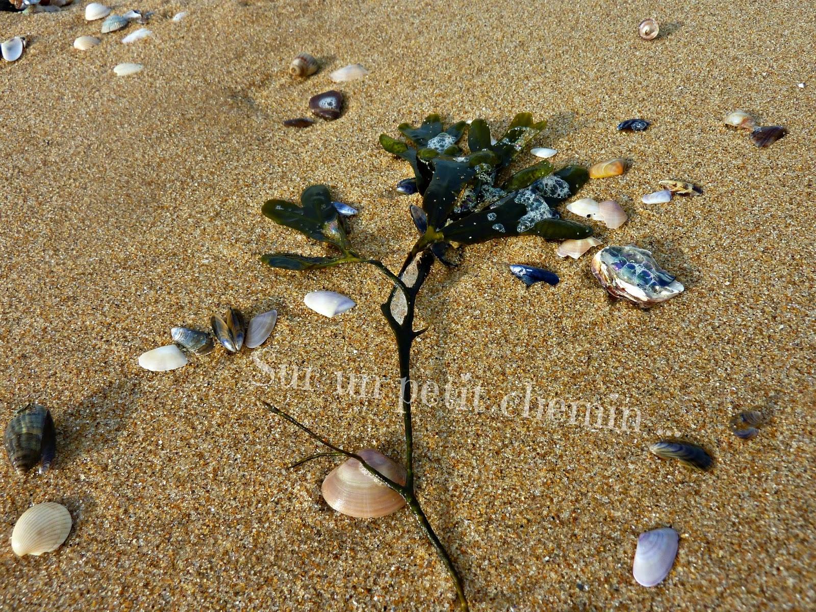 Algues et coquillages - Grande Plage de Saint Gilles Croix-de-Vie en Vendée