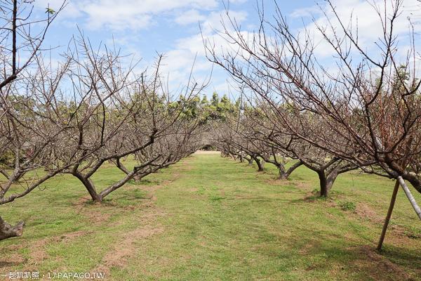 台中外埔景點|外埔梅園|數十棵梅樹排列整齊|地面平坦有綠草坪|泰安服務區旁