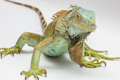 Cara Merawat Iguana Supaya Cepat Besar dan Jinak