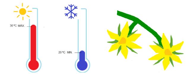 A influência da Temperatura na floração do Tomateiro