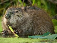 American Beaver Images Castor canadensis