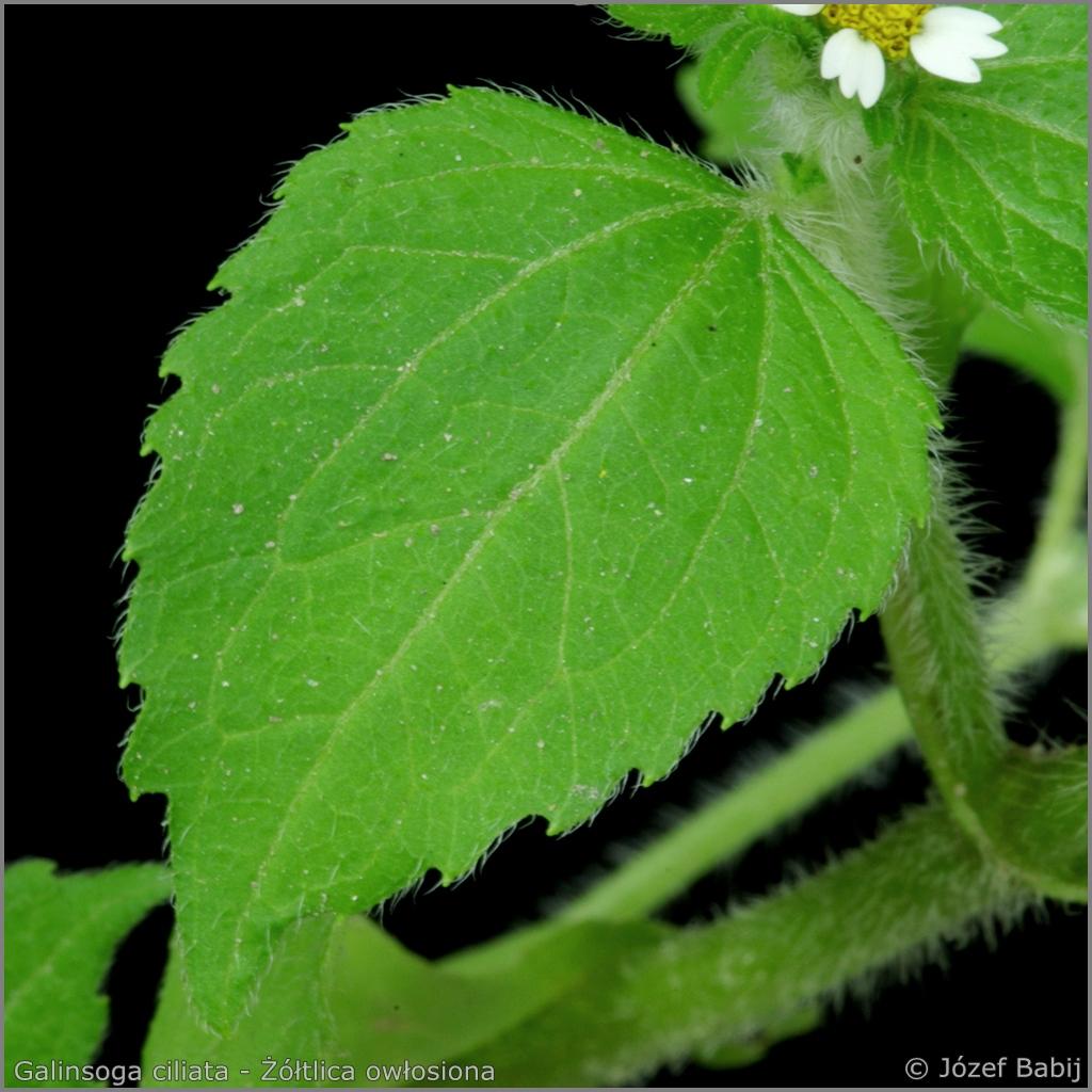 Galinsoga ciliata leaf      - Żółtlica owłosiona liść