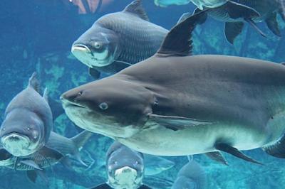 Temperamen Pangasid Catfish