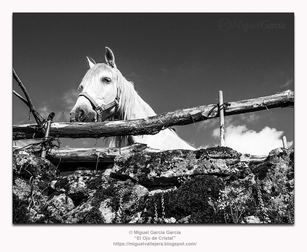 El caballo confinado.