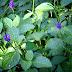 Rumput Jarong Lelaki, Tanaman Hias Sekaligus Herba Sehat