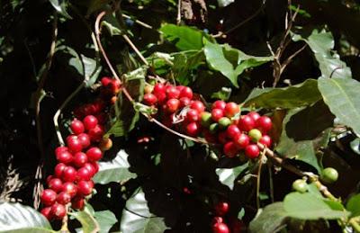 Jual Bibit Kopi, Jual Bibit Kopi Arabika, Cara menanam bibit kopi arabika