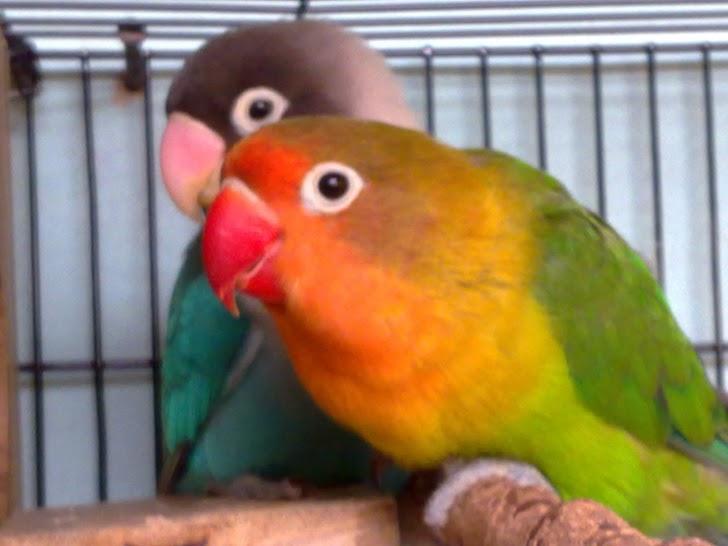 Inilah Cara Memilih Sangkar Lovebird yang Baik Berdasarkan Fungsinya