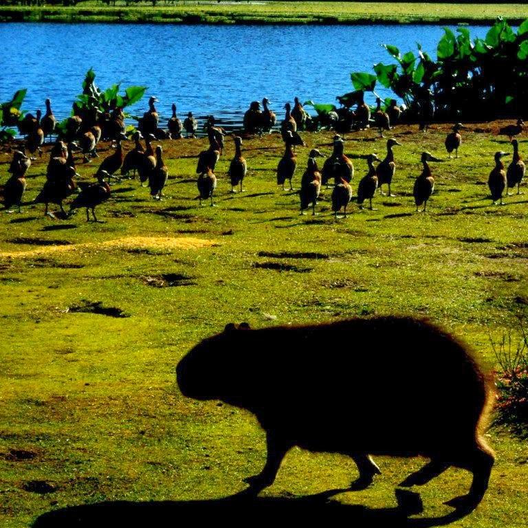 Capivara, Pássaros e Lago no  Parque Tupancy, em Arroio do Sal