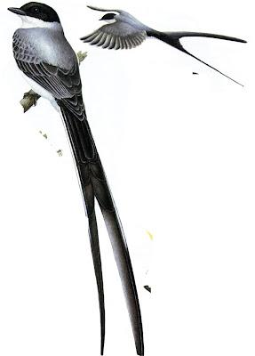 flycatcher pampas birds