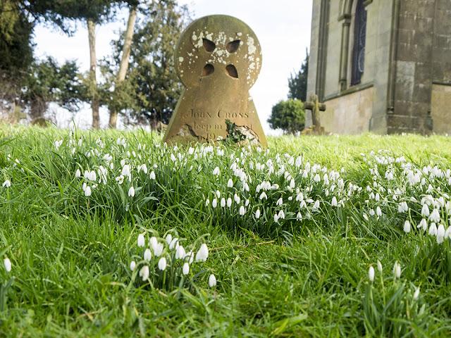 Snowdrops around grave stones