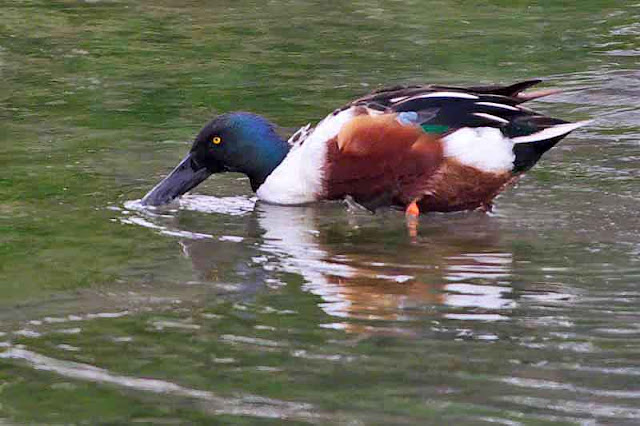 bird, Northern Shoveler, feeding in water