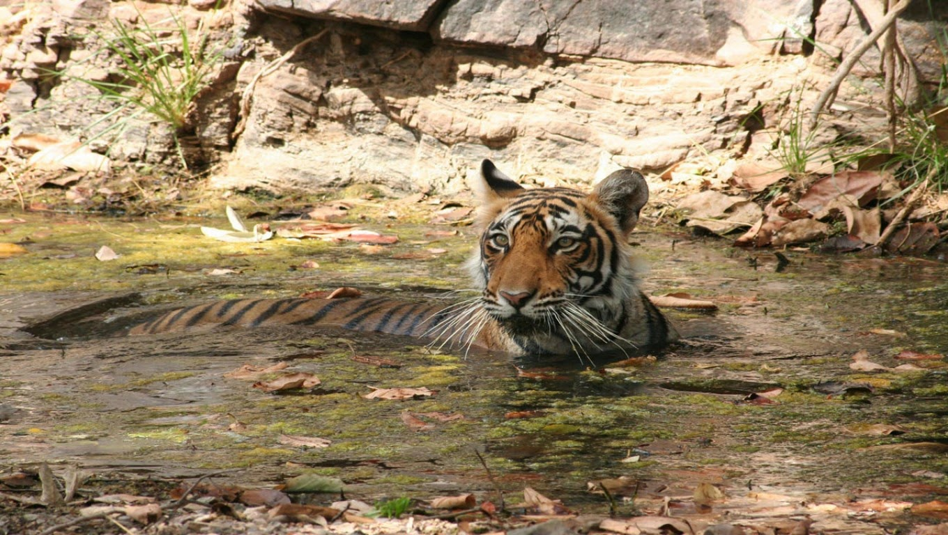 Tiger seeking respite from heat, Ranthambore National Park