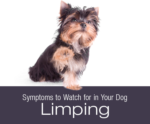 Symptoms to Watch for in Your Dog: Limping/Lameness