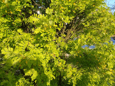 Zielono na drzewach