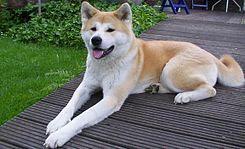 Japon Bekçi Köpeği - Akita
