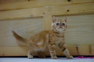 Jenis Kucing Ras Paling Lucu beserta Harga Terbaru, exotic shortir