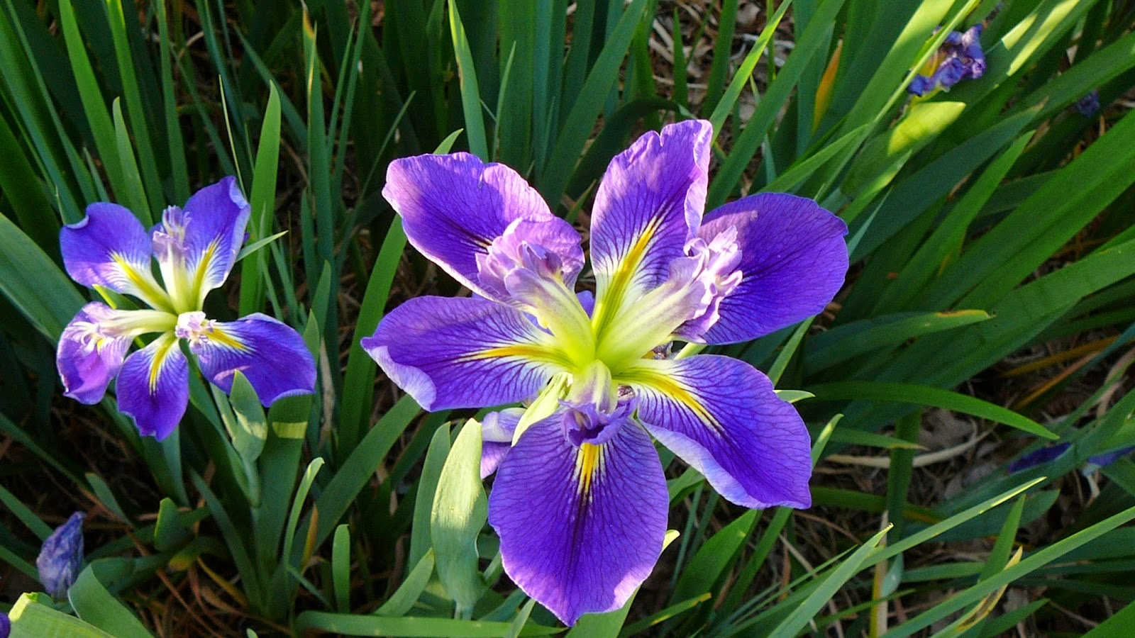 world of irises iris bloom season in northwest louisiana. Black Bedroom Furniture Sets. Home Design Ideas
