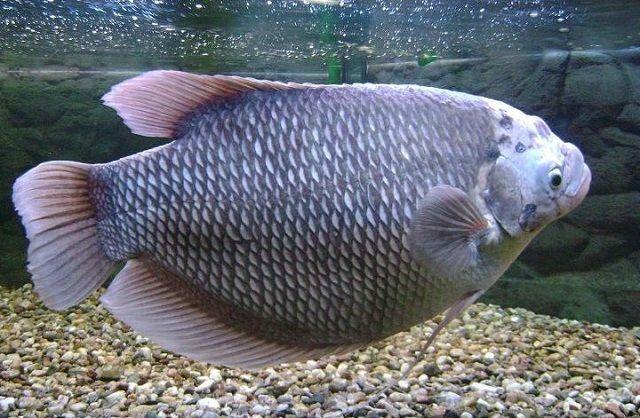 Jenis Ikan Gurame TEMBAGA