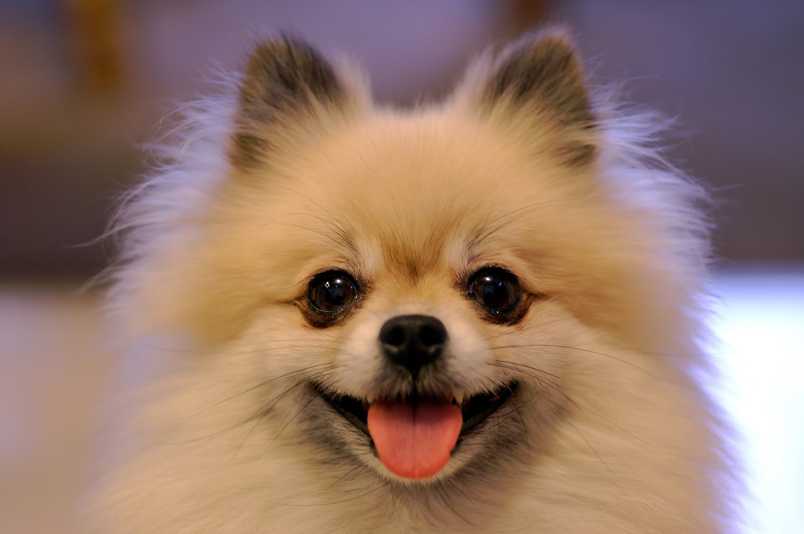 Pomeranian dog puppy | Grimsby, Lincolnshire | Pets4Homes |Pom Puppies
