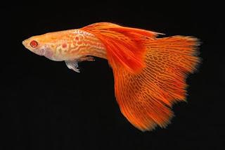 Ikan Guppy, Tren Ikan Hias Aquarium saat ini