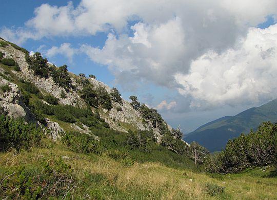 Sosny bośniackie (Pinus heldreichii).