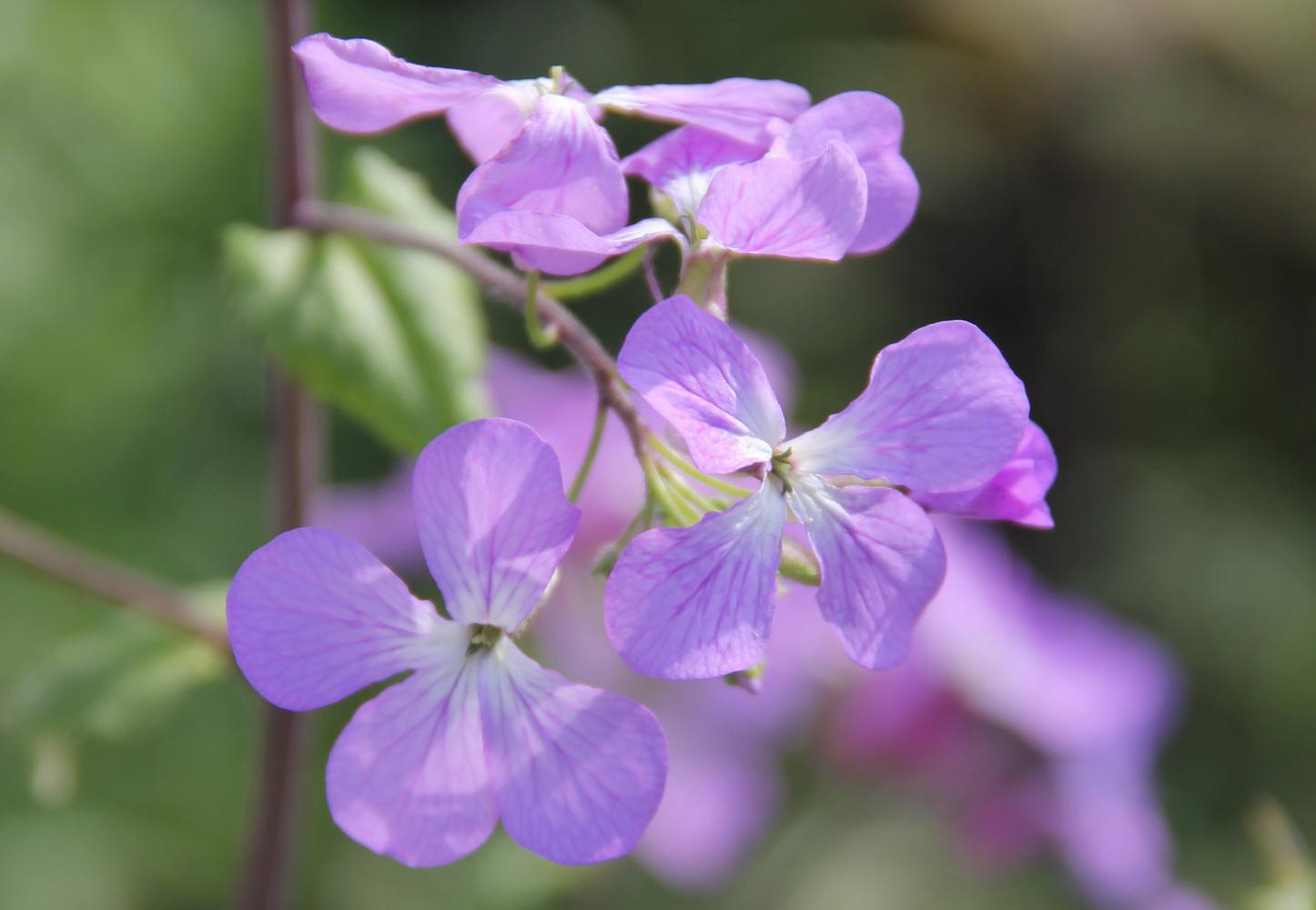 Flora Mirabilis Lunaria Annua