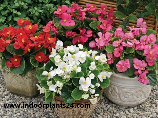 Angel wing begonia indoor house plant