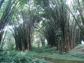 Tempat Wisata Di Kabupaten Lumajang Hutan Bambu