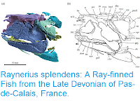 http://sciencythoughts.blogspot.co.uk/2015/10/raynerius-splendens-ray-finned-fish.html