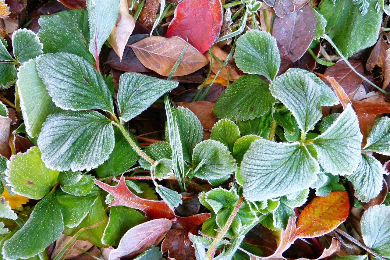 strawberry leaves, frosty strawberry leaves