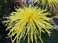 市民の森(鏡伝池緑地)ひらかた菊花展 管物菊