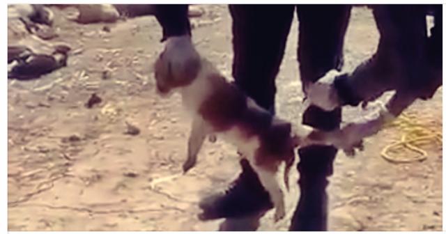 killing stray dogs inhumanely