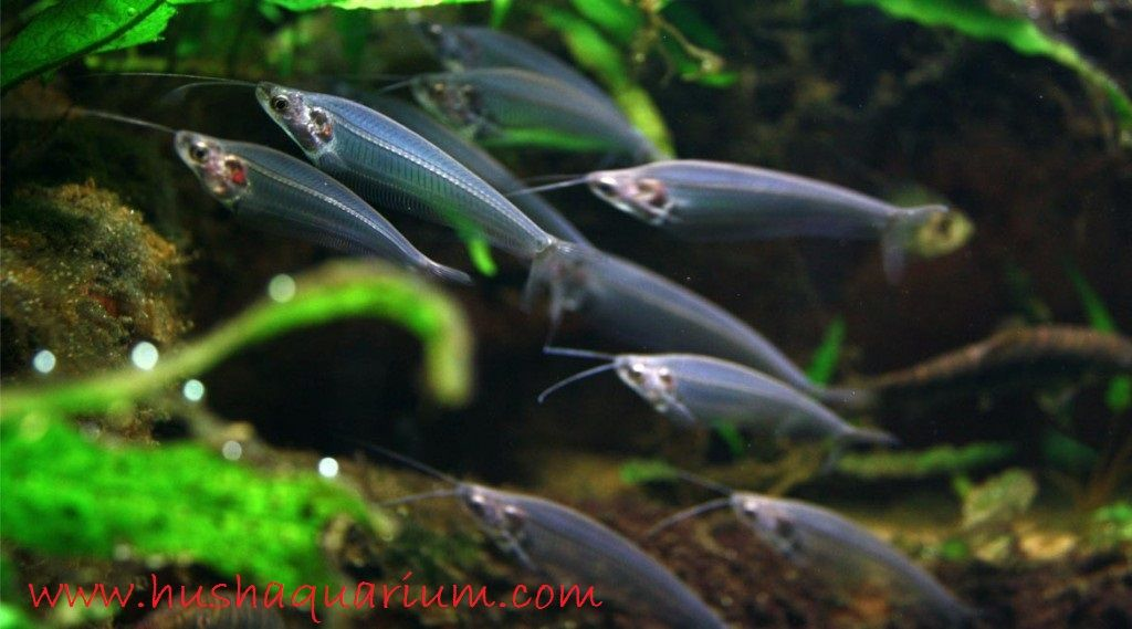 Gambar Serta Foto Ikan Lele Kaca, Yuk Lihat Keindahan Dan Cara Merawatnya