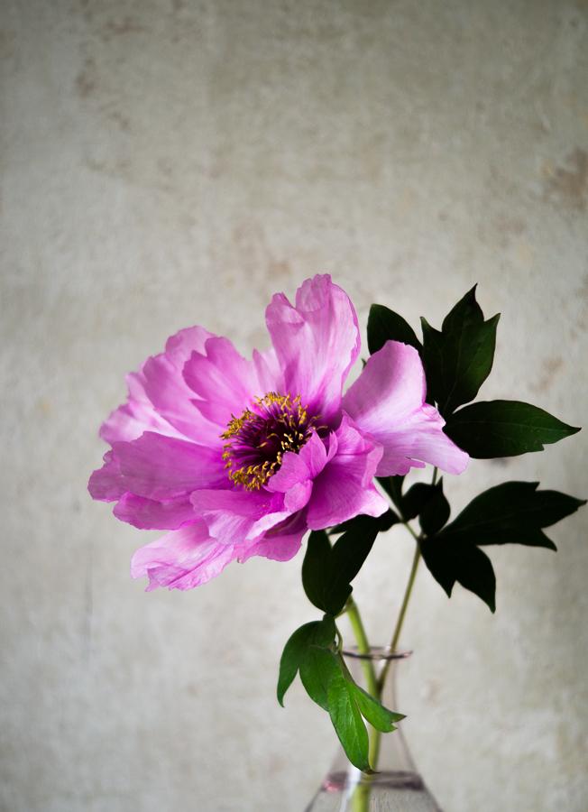 Blog + Fotografie by it's me! | fim.works | Bunt ist die Welt | Blumen | rosa-fliederfarbene Bauernpfingstrose vor roh verputzter Wand
