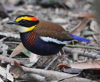 Paok pancawarna adalah spesies burung dari keluarga Pittidae yang dikelompokkan kedalam genus Pitta. Dalam bahasa Inggrisnya disebut dengan Javan banded pitta yang memiliki nama latin Hydrornis guajana.