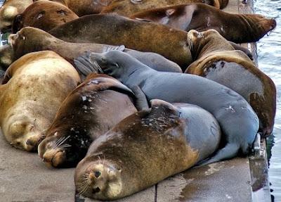 Foto de lobos marinos dormidos