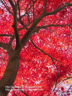 初冬の紅葉 1写真