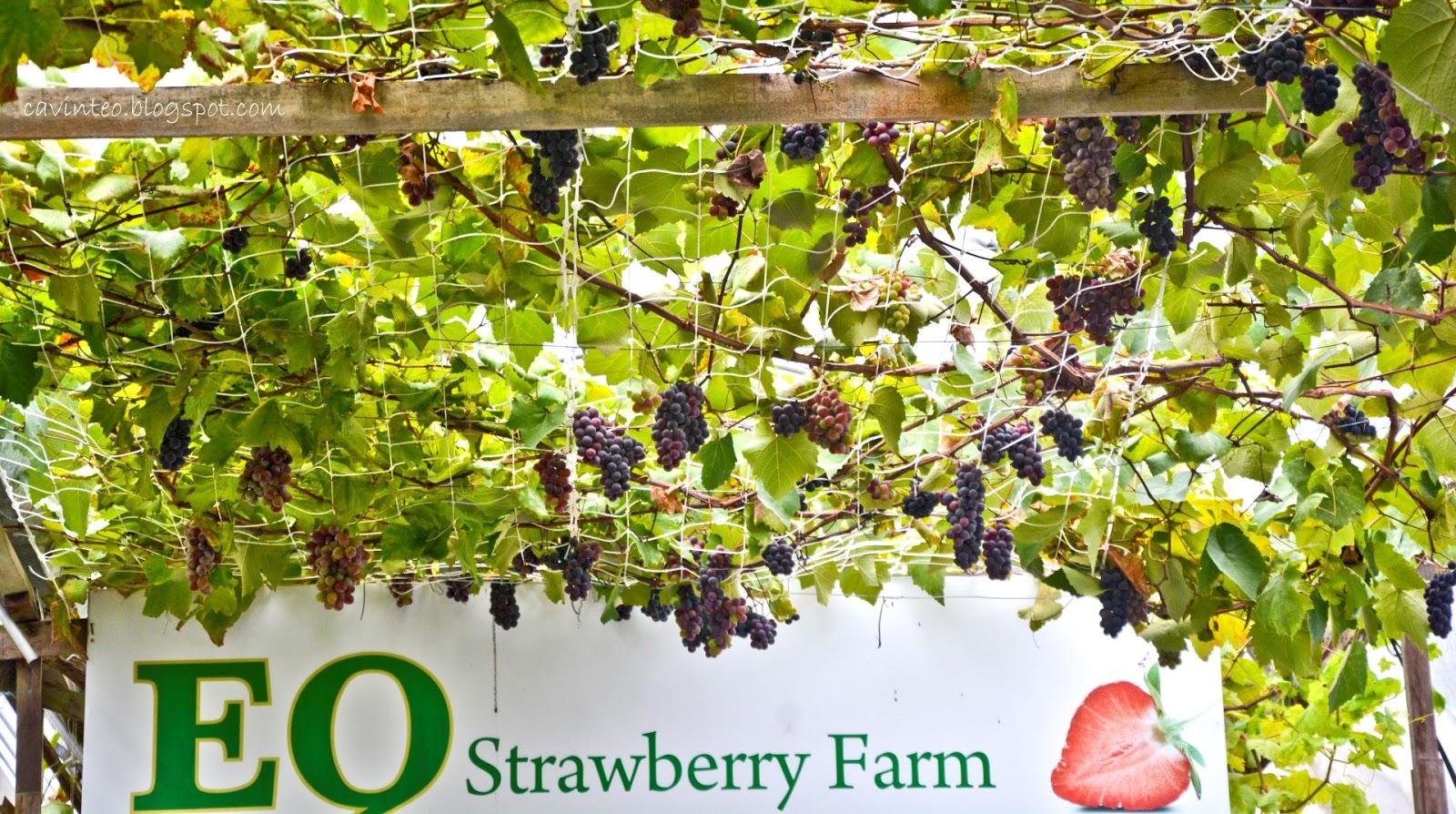 Entree Kibbles: EQ Strawberry Farm near Copthorne Hotel @ Cameron