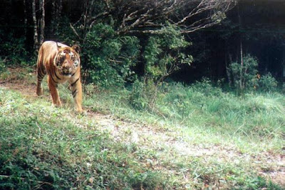 Tiger in Periyar Forest