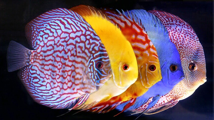 Ikan Discus merupakan salah satu spesies ikan air tawar Cara Merawat Dan Budidaya Ikan Discus