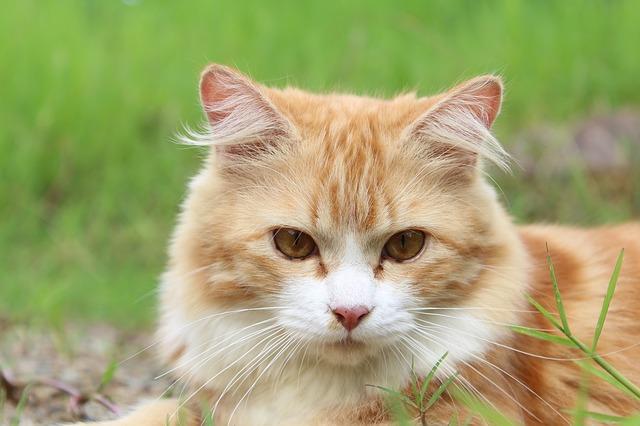 Cara Merawat Kucing Kampung Agar Gemuk Dan Bulunya Lebat Hobinatang