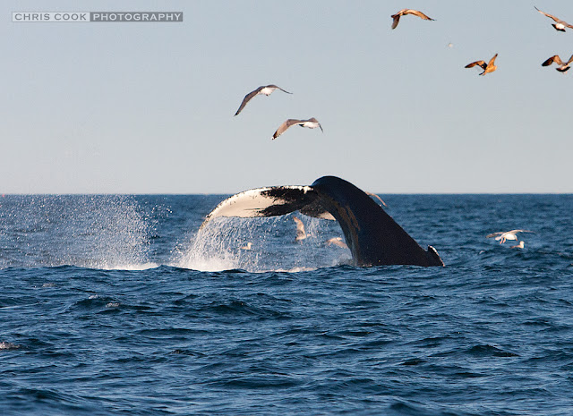Cape Cod wedding blog photo from Chris Cook Photography about Humpback whale off Chatham
