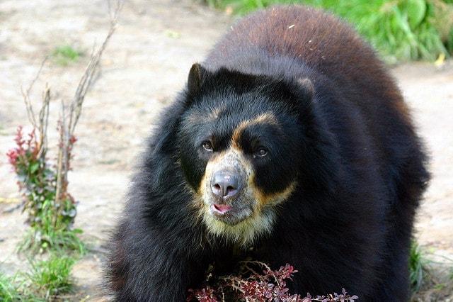 أضخم انواع الدببة