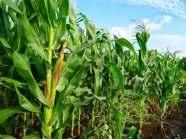 Maize Crop Image